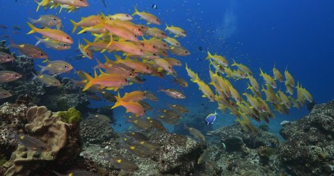 School of yellow goatfish in Similan island  Thailand