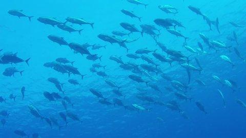 Shoal of Bigeye Mackerels (Trevally / Jack Fish) swimming in blue water.