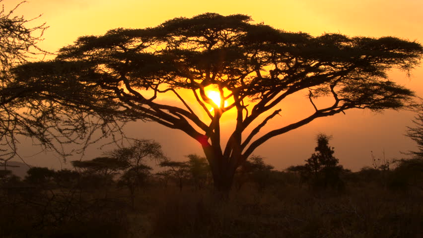 CLOSE UP: Stunning silhouetted thorny acacia tree canopy against golden setting sun in spectacular overgrown savannah grassland woodland in African wilderness. Scenic dry open woodland scenery at dusk