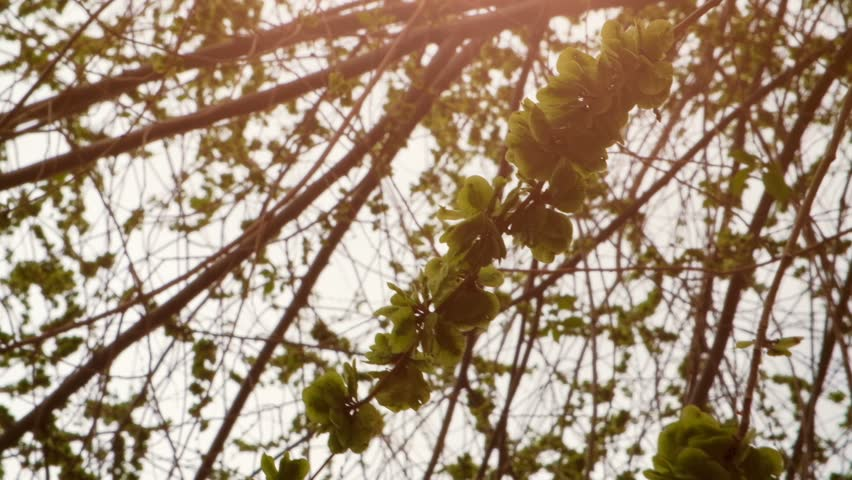 Elm tree with seeds covering twigs against blinking sunlight natural grading footage | Shutterstock HD Video #26116970