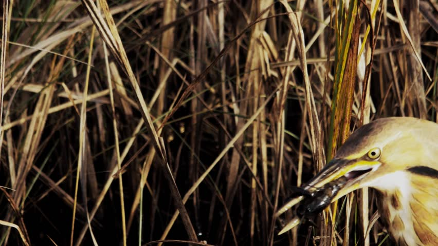 Header of American bittern