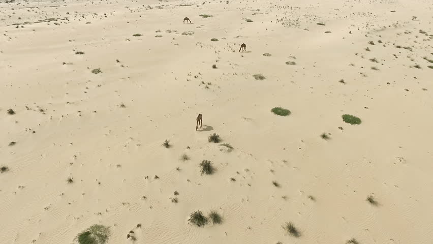 Flying over camels group in desert HD travel panoramic video. Aerial top view flight of dry sand dune nature landscape