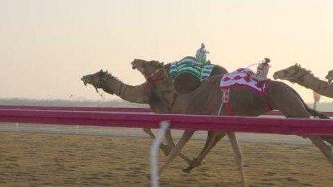 Camel race. Camel run. camel in emirates. camel in Doha. Qatar