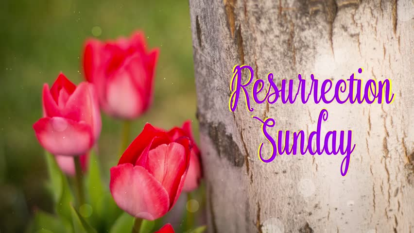 Resurrection Sunday Text And Red Tulips