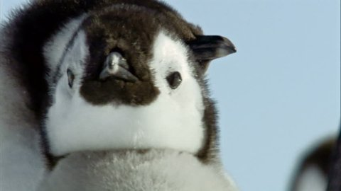 Young emperor penguin shaking head / Antarctica