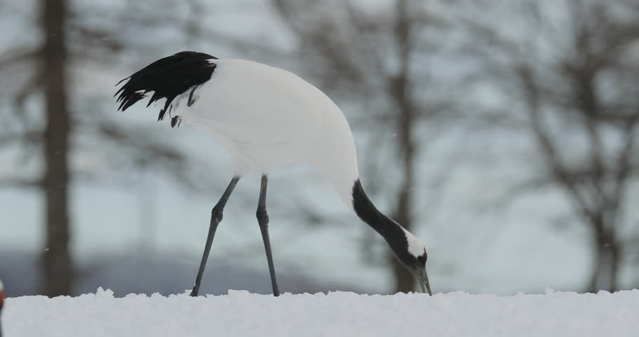 Red-crowned crane, Grus japonensis, with snow storm, Hokkaido, Japan. White bird feeding on the meadow. Winter landscape with wild animal. Wildlife scene from nature. Rare bird in the forest with snow   Shutterstock HD Video #26290490