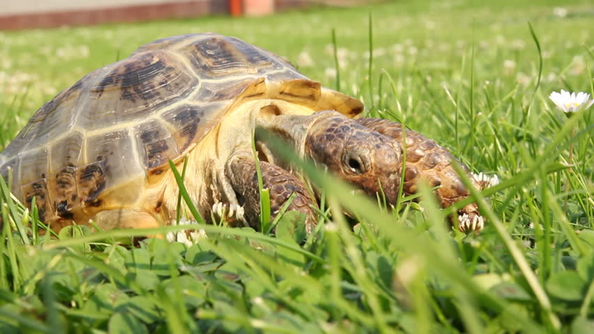 turtle eating clover flowers #2633000
