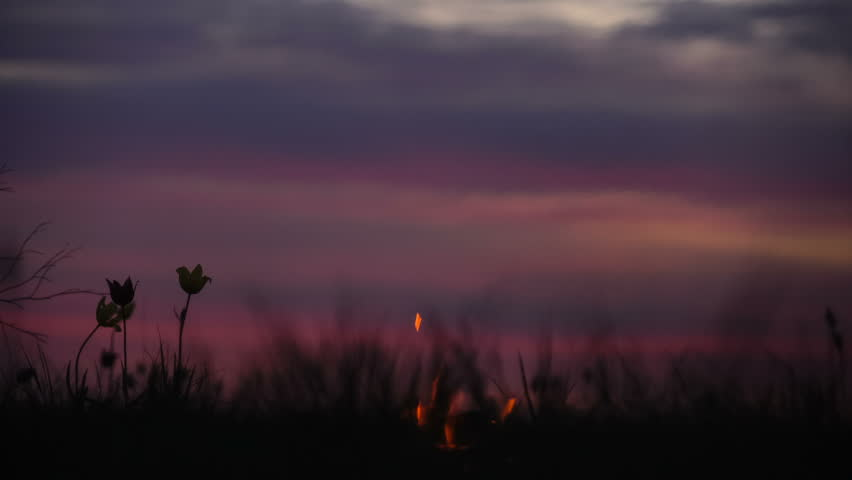 Wild tulips in a meadow on background sky. Sunrise. Bonfire. A quiet spring morning in the steppe.
