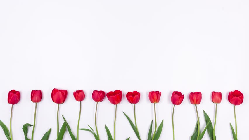 Tulips Grow on a White Background. Red Flowers Appear on the Holiday.4K. Stop Motion Animation. Top View.
