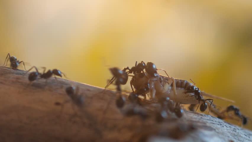 Timelapse close-up of Ants (Messor Barbarus) feeding on prey