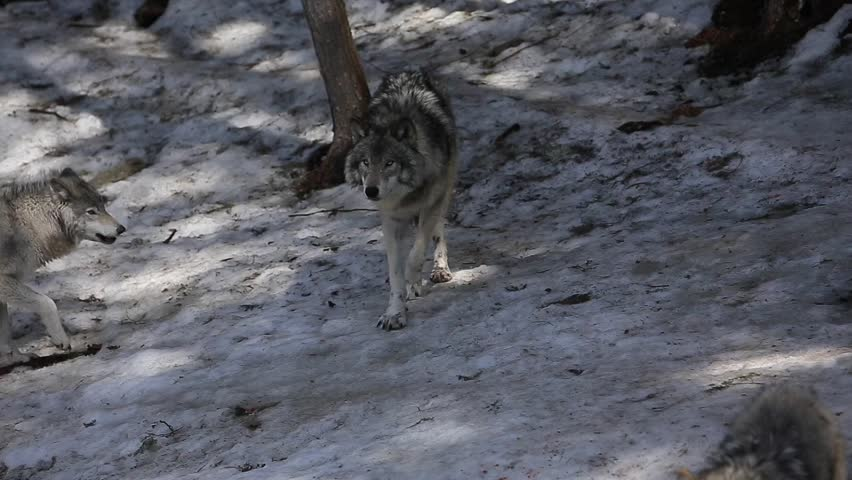 beautiful timber wolves in the forest