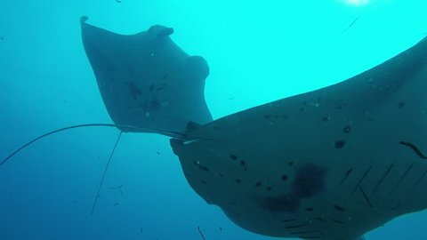 Three Manta Rays crossing on a cleaner station.