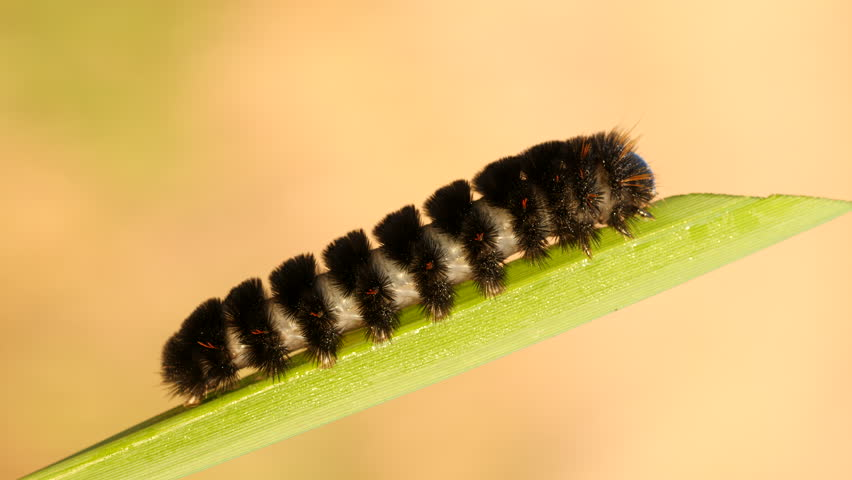 An Agreeable Tiger Moth (Spilosoma congrua) caterpillar (larva) feeds on a blade of marsh grass.