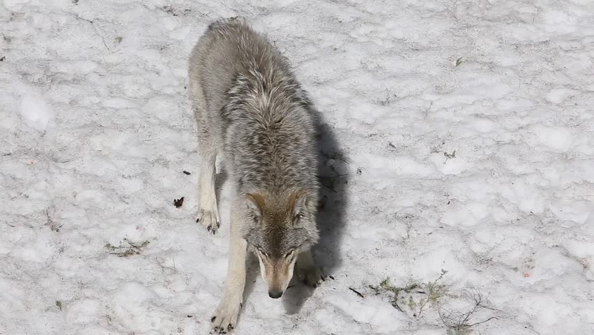 timber wolf searching scraps in the snow