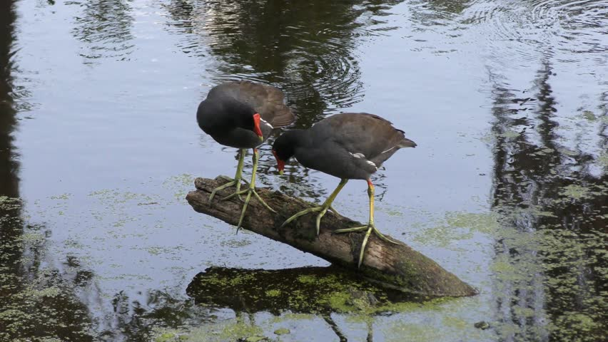 two Common Gallinules at sunset #26561420