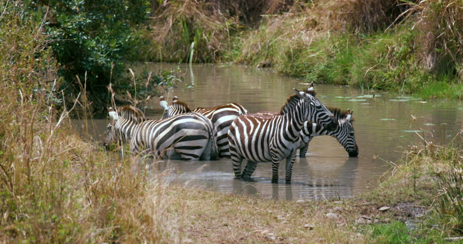 Burchell'S Zebras Walking Out Of Water; Maasai Mara Kenya Africa