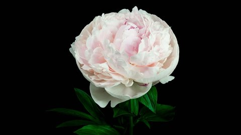 Timelapse of a light pink peony flower blooming and fading on black background