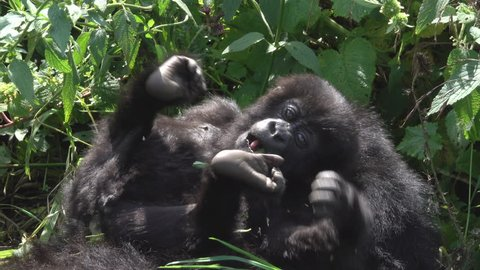 Mountain Gorilla, family life, lovely baby in the Virunga mountains in Africa, Rwanda.
