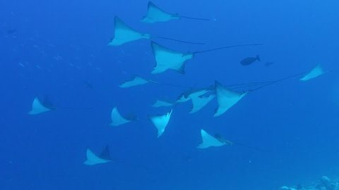 Eagle Rays swimming in blue water.