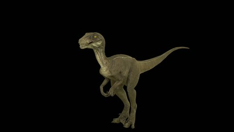 Roaring dinosaur Velociraptor. Production quality footage in ProRes HQ codec 30 FPS with alpha matte.