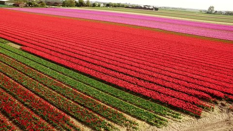 Typical Dutch tulip flower fields nearby Lisse, The Netherlands. The flower season is in the spring from half of April until half of May.