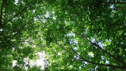 Looking upward and falling gently backward from a sunshine filled fresh green tree canopy, gently rustling in the breeze.