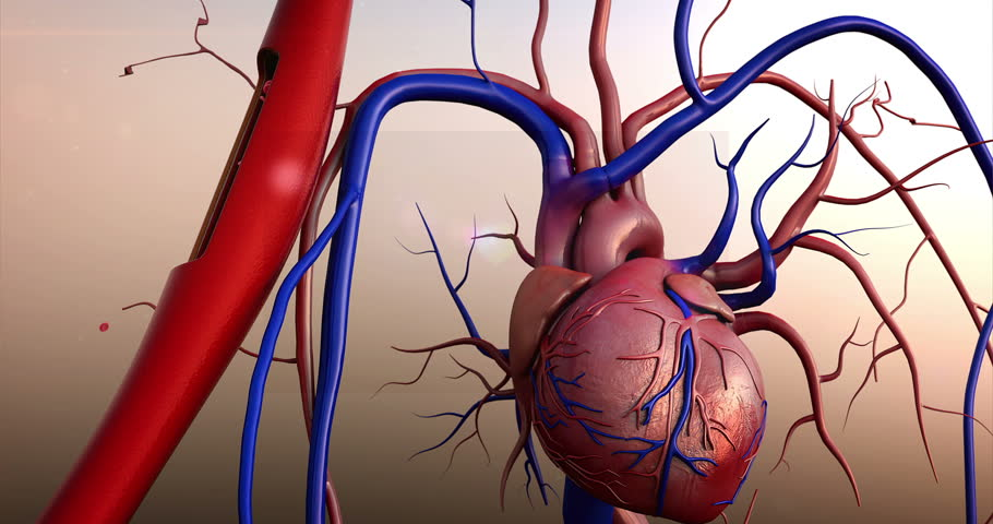 Human heart, Human heart model and erythrocytes in the blood vessels, 4K animation of Human heart and vein, Contraction of blood vessels on a heart background - 4K stock footage clip
