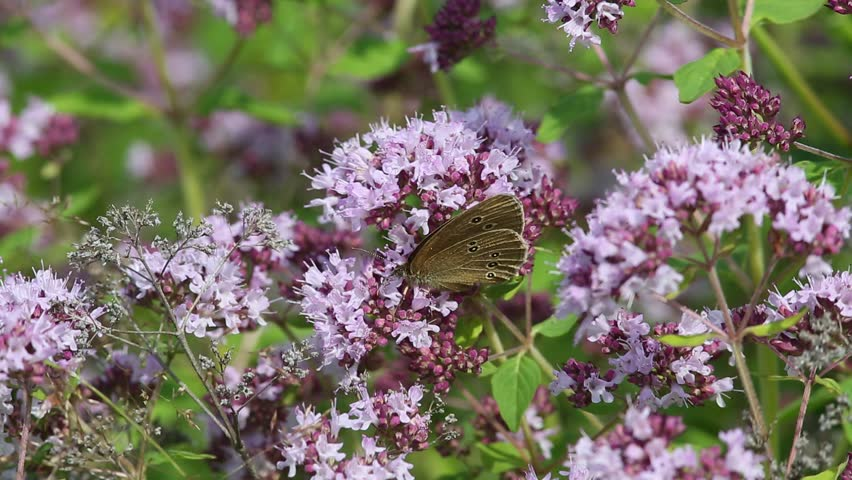 Butterfly Ringlet (Aphantopus hyperantus) collects nectar on the flowers