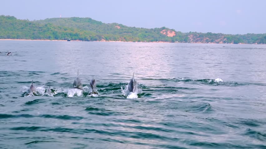 Several Spinner Dolphins swimming fast, porpoising, jumping out of water, hunting tuna. Group of marine mammals against big green island on background. Sri Lanka. Long shot. Side view. Slow motion | Shutterstock HD Video #26877340