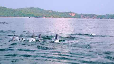 Several Spinner Dolphins swimming fast, porpoising, jumping out of water, hunting tuna. Group of marine mammals against big green island on background. Sri Lanka. Long shot. Side view. Slow motion