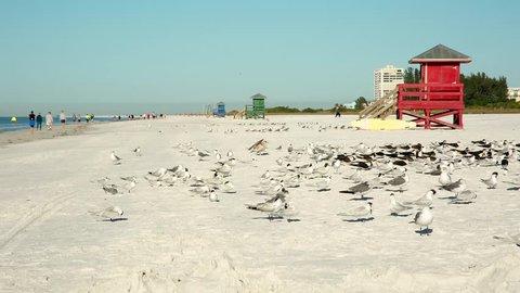 A large flock of gulls on the whiteest beach of US Siesta Key, Sarasota, Florida