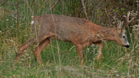 Mammal species European Roe Deer (Capreolus capreolus). A Male grazing grass on mountain meadow.