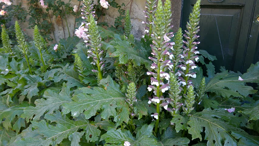 Header of Acanthus spinosus