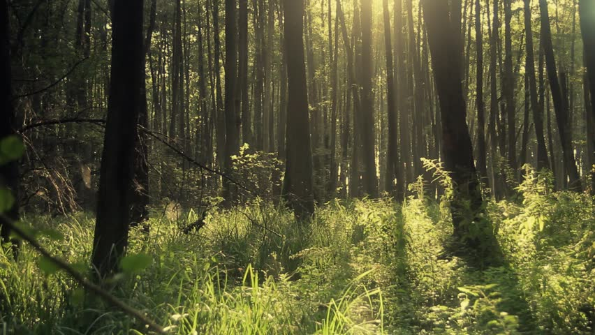 Full HD clip that shows morning in  beautiful wood, with old, great trees.