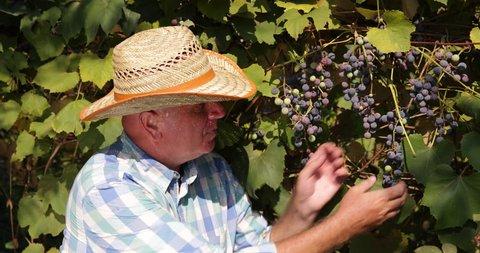Winemaker Tasting Wine Grape Vine Vintner Farmer Man Pick Check Harvest Vineyard ( Ultra High Definition, UltraHD, Ultra HD, UHD, 4K, 2160P, 4096x2160 )