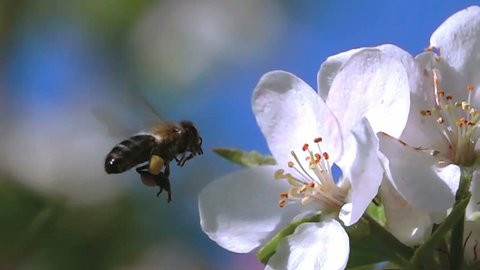 Bee flying super slow motion