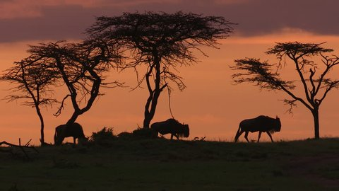 WILDEBEEST AND IMPALA AGAINST MORNING SKY