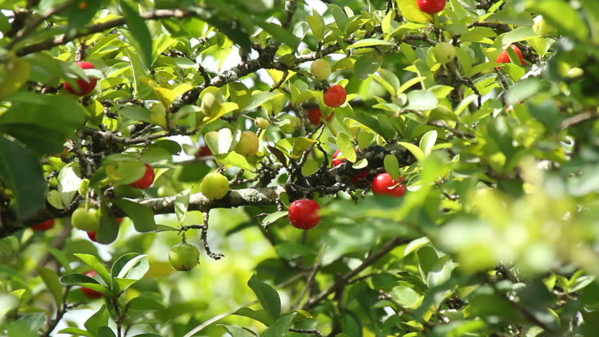 Header of Acerola