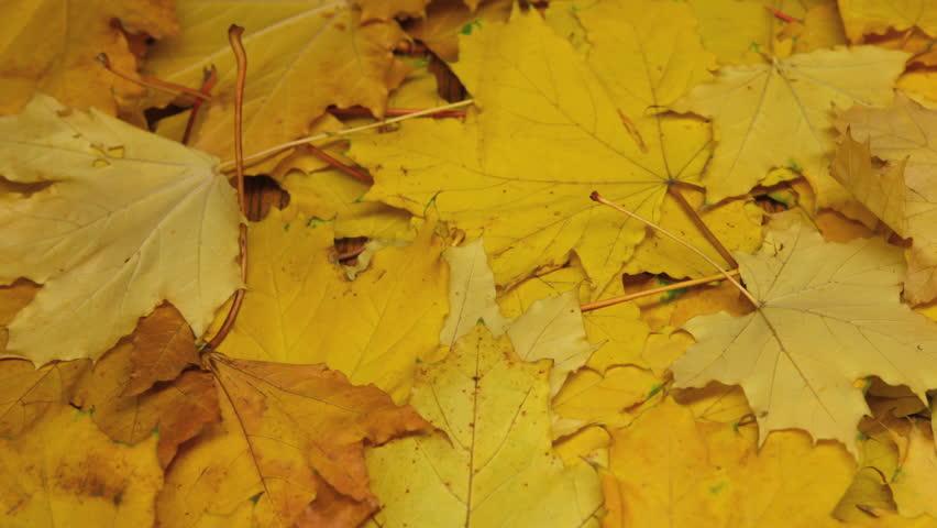 Autumnal maple dry leaves, timelapse