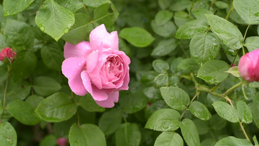Bunch Of Beautiful Pink Roses Stock Footage Video 100 Royalty Free