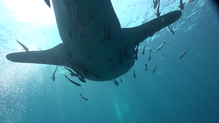 Whale shark (Rhincodon typus).  This shark has a horde of attendant remora fish (Echeneidae), which attach themselves to the shark and feed on skin parasites and faeces.  | Shutterstock HD Video #27205900