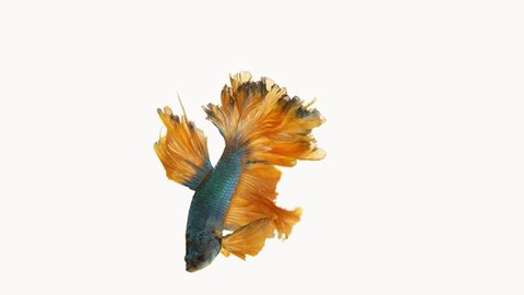 Half-Moon fighting fish in green and orange. Income will be contributed to fund the Siamese Fighting Fish Gallery for continuous conservation of the fighting fish species.