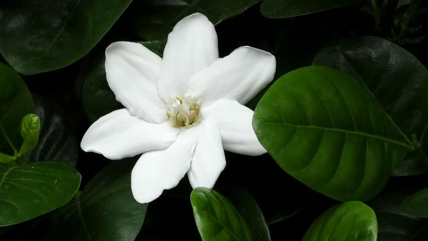 Header of Rubiaceae