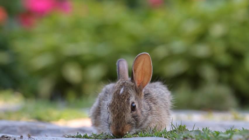 Young rabbit eating grass in the garden   Shutterstock HD Video #2724620