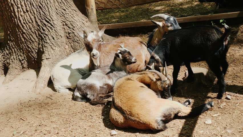 Several funny goats rest in the shade of a tree