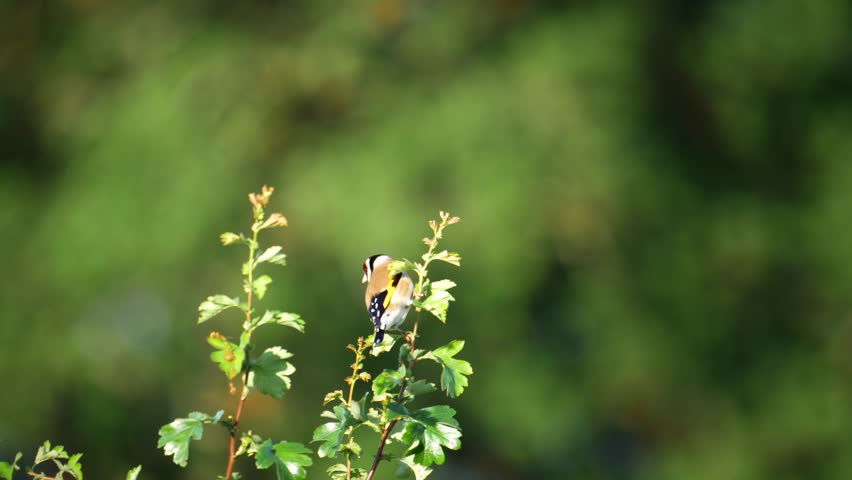 wildlife birds - goldfinch on branch: Staffordshire, England: May 2017