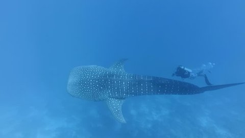 Scuba diver swim near Whale shark - Rhincodon typus, Indian Ocean, Maldives. Top view