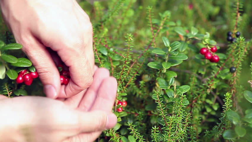 Caucasian human hands gathering cowberries from green brunches