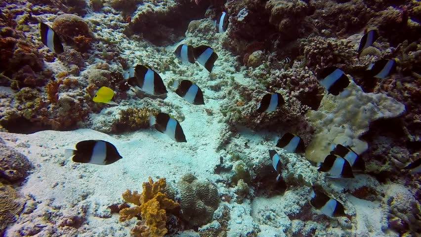 School of striped fish on background of clear seabed underwater in Maldives. Swimming in world of colorful beautiful seascape. Aquarium of wild nature. Abyssal relax diving. | Shutterstock HD Video #27451300
