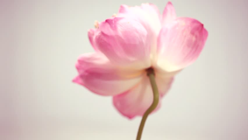 Pink lotus rotates isolated on a gray background